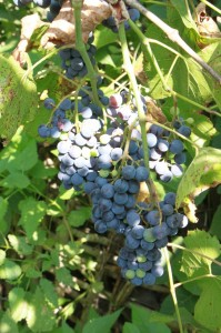 Red Grapes Varieties